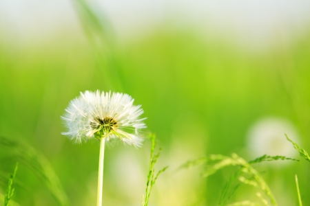 Dandelions in a grass Stock Photo