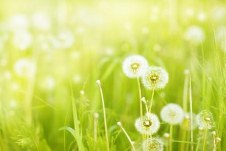 dientes de le?n en un prado de verano solar