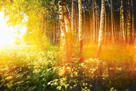 bosque de abedul en sol de la ma?ana