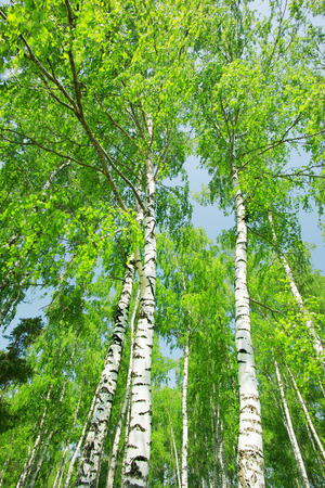deciduous forest: birch forest in sunlight in the morning Stock Photo