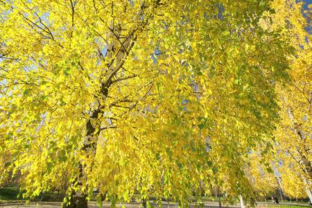 For�t de bouleaux en automne au soleil Banque d'images