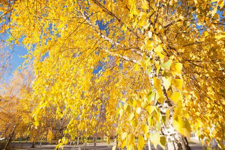 Autumn Forest de bouleau dans la lumi�re du soleil Banque d'images