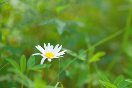 Margarita de la primavera