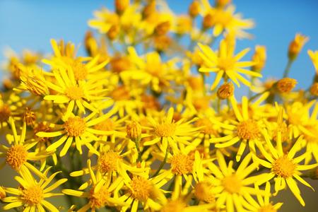 Marguerites printemps