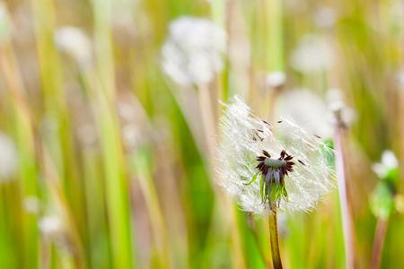 Dientes de le�n en un prado verde