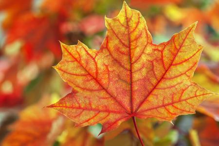 Feuilles d'�rable dans de belles couleurs d'automne.