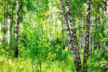 sunligh: morning in birch forest
