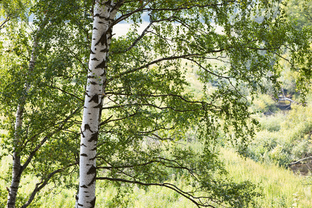 deciduous woodland: birch forest in sunlight in the morning Stock Photo