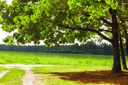 unpaved road: the oak tree in the rays of the sun on the background of a shaded forest