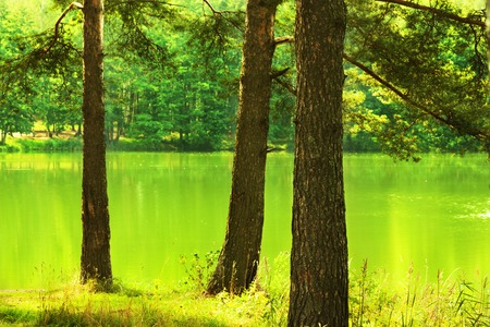 deciduous woodland: sunny pine forest on the shore of  lake