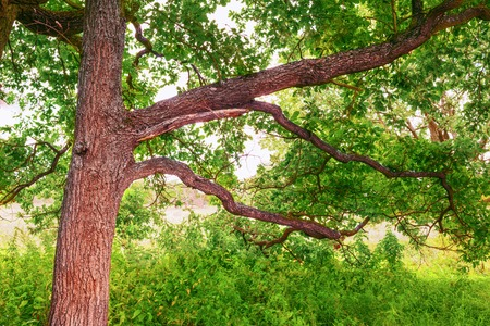 deciduous woodland: a mysterious Sunny summer in old  oak forest