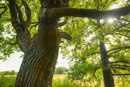 solar flare: a mysterious Sunny summer in old  oak forest  with solar flare Stock Photo