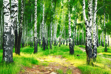 mornings: birch forest in sun rays in the mornings