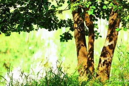aspen tree: sunny aspen tree on the shore of  lake
