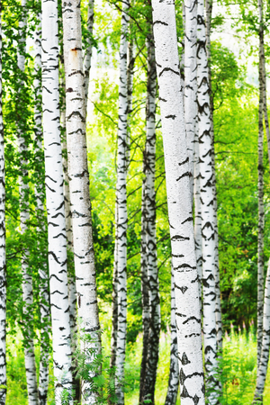 birch forest in sunlight in the morning Stock Photo