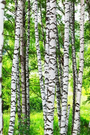 arboleda: birch forest in sunlight in the morning Foto de archivo