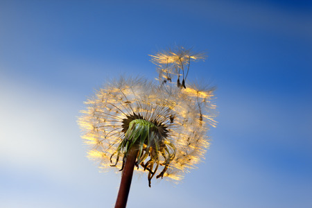 fragility: White Dandelion in the sky  blowing seeds in the wind .Closeup,macro