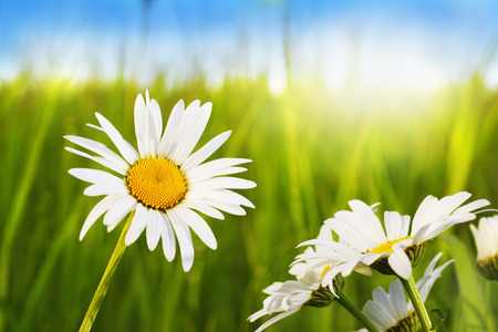 daises: Daisies  in sunny weather on a beautiful meadow Stock Photo