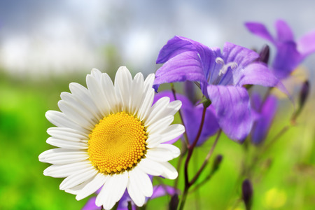 chamomile flower: Chamomile  in sunny weather on a beautiful meadow.Chamomile flowers field background in sun light. Summer Daisies. Beautiful nature scene with blooming medical chamomilles. Alternative medicine. Camomile Spring flower background Beautiful meadow
