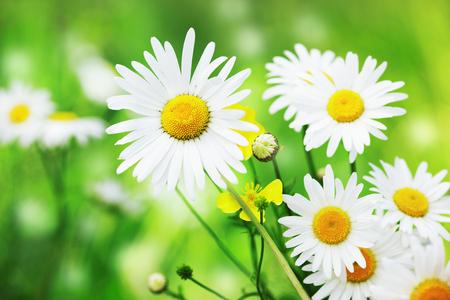 daises: Daisy camomile flower.Chamomile field flowers border. Beautiful nature scene.  Spring Daisy. Summer flowers. Beautiful meadow. Summer background
