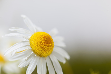 daises: Chamomile against the sky. Summer daisy. A beautiful scene of nature with blooming medical chamois. Alternative medicine. Camomile Spring floral sky landscape Stock Photo