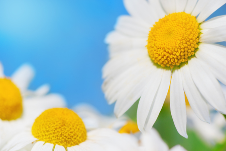 Chamomile against the sky. A beautiful scene of nature with blooming Chamomile. Chamomile Spring floral sky landscape.Summer daisy Stock Photo