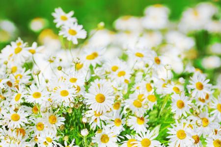 Chamomile flowers field  in sun ligh. Daisies background. Beautiful nature scene. Summer background.Chamomile field. Beautiful meadow.