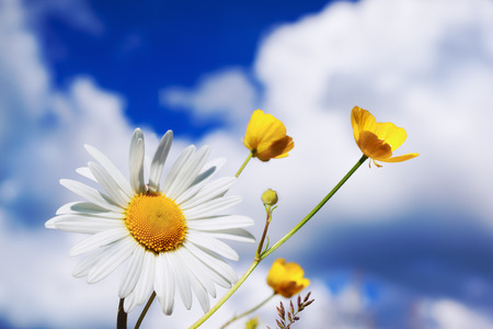 Chamomile against the sky. A beautiful scene of nature with blooming  Chamomile. Chamomile Spring floral sky landscape. Summer daisy. Stock Photo
