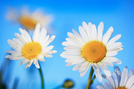 Chamomile flowers  in sun ligh. Chamomile close-up . Stock Photo