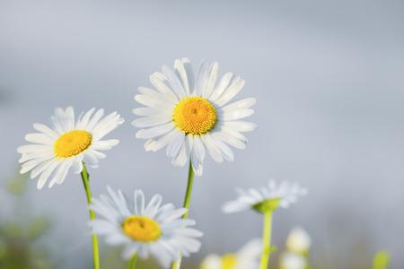 Chamomile flowers field  in sun ligh.  Stock Photo