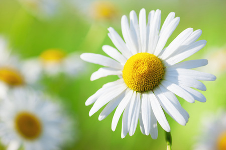 Chamomile flowers field  in sun ligh. Chamomile close-up .. Stock Photo