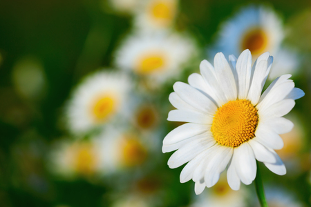 Chamomile flowers field  in sun ligh. Chamomile close-up .