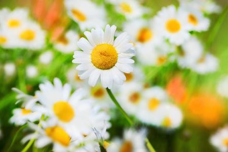 Chamomile flowers field  in sun ligh.