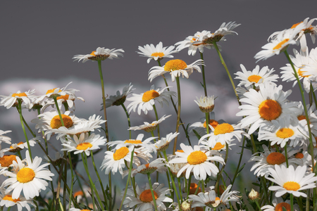Flowering.  Blooming chamomile field, Chamomile flowers. Stock Photo