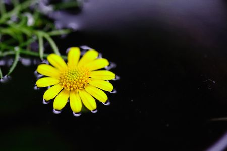ondulation: Chrysanthemum indicum Banque d'images