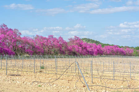 Cercis siliquastrum or Judas tree, next to a vineyard. Ornamental tree blooming with beautiful deep pink flowers in spring. Soft focus, blurred background. Stock Photo