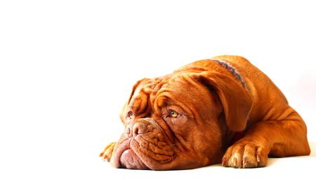 dogue de bordeaux: Dogue de Bordeaux