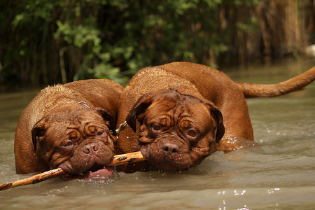 dogue de bordeaux: The Dogue de Bordeaux is playing in the water Stock Photo