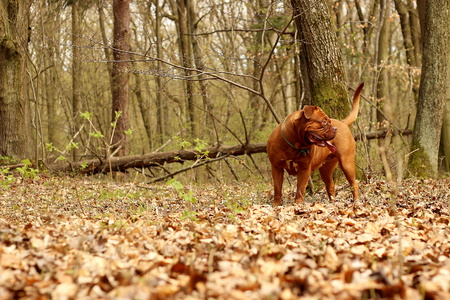 french mastiff: Dogue de Bordeaux, French mastiff photo shoot in the wild