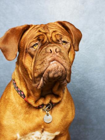 dogue: Dogue de Bordeaux photo shoot with different backgrounds