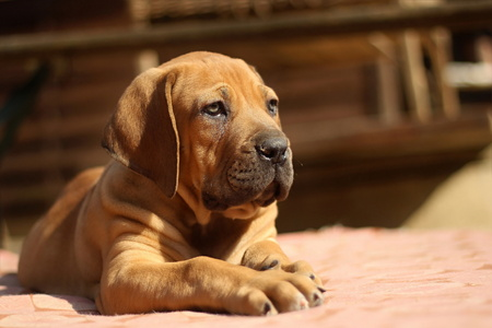 boerboel dog: Boerboel, South African bulldog puppy
