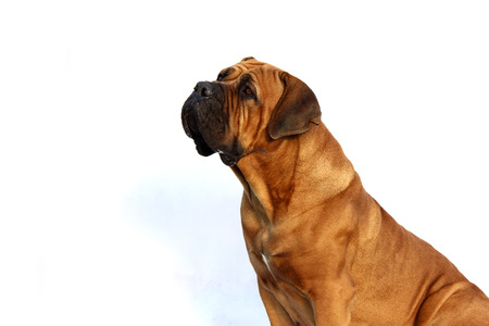 boerboel dog: Boerboel, South African bulldog isolated on background Stock Photo