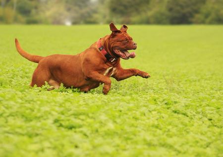 dogue de bordeaux: Dogue de Bordeaux outdoors in a meadow