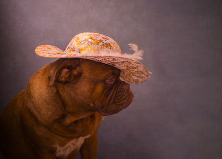 dogue: Dogue de Bordeaux portrait in a hat