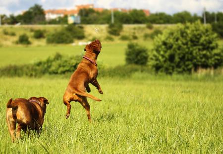 dogue: Dogue de Bordeaux