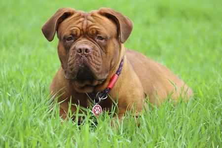 Bordeauxdog Stockfoto