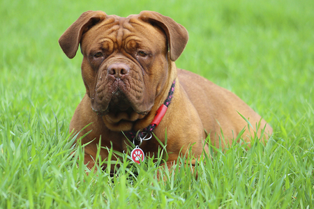 bordeauxdog: Dogue de Bordeaux