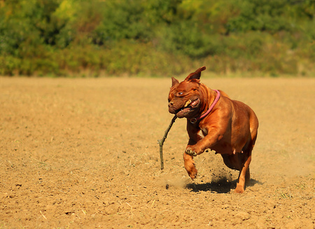 retrieving: Running Dogue de Bordeaux retrieving a stick