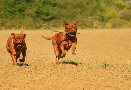 retrieving: Running two Dogue de Bordeaux retrieving a stick