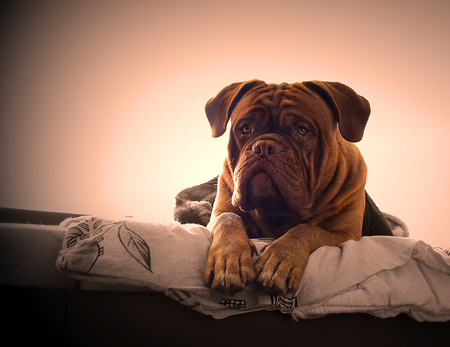 dogue de bordeaux: Dogue de Bordeaux in a bed in the bedroom